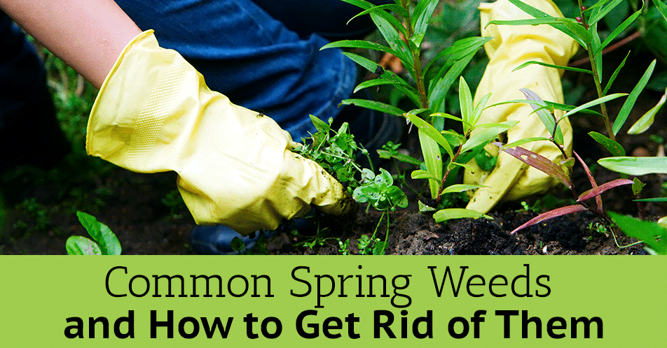 Common Spring Weeds and How to Get Rid of Them