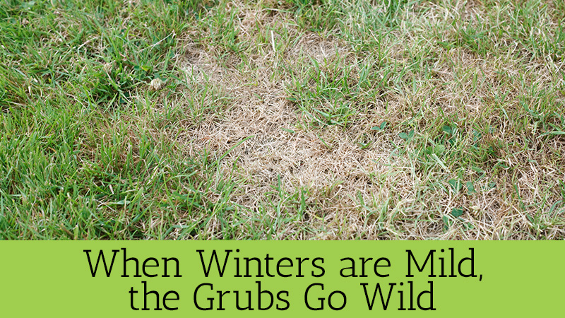 When Winters are Mild, the Grubs Go Wild