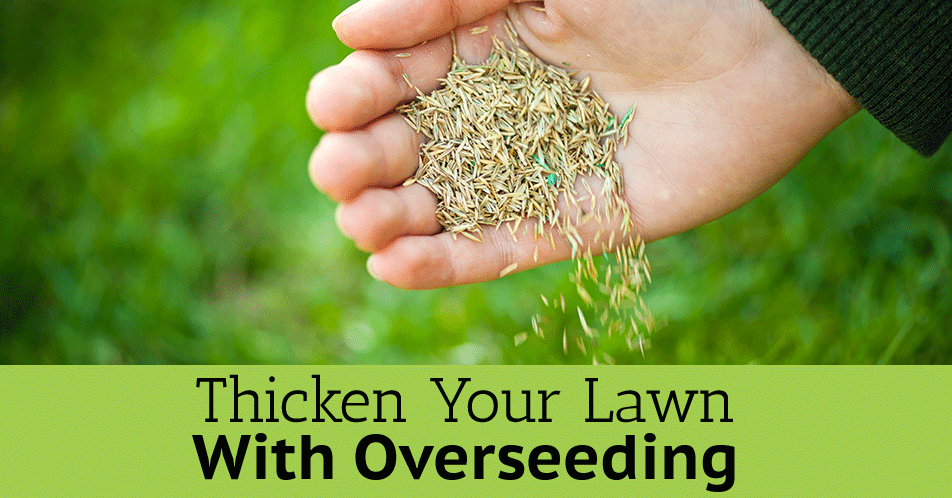 Thicken Your Lawn With Overseeding